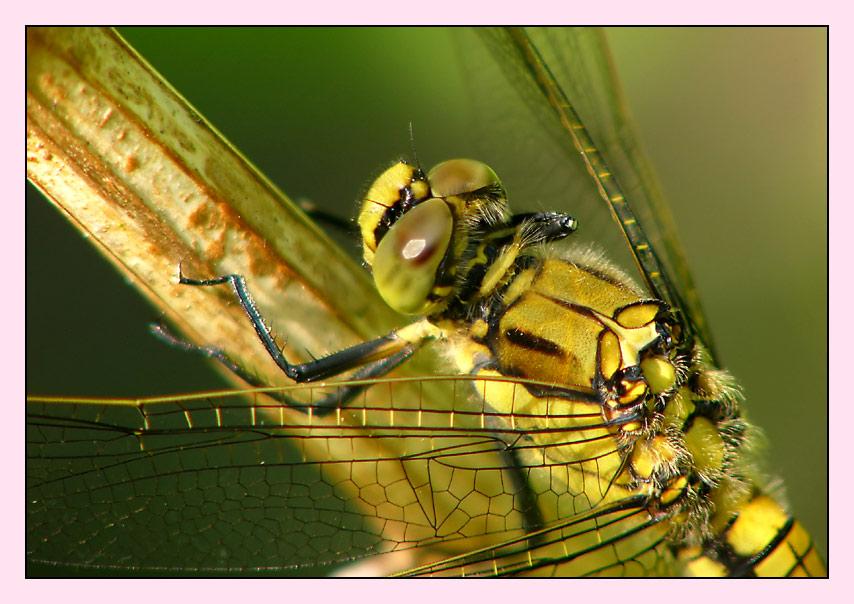 Noch `ne Libelle...