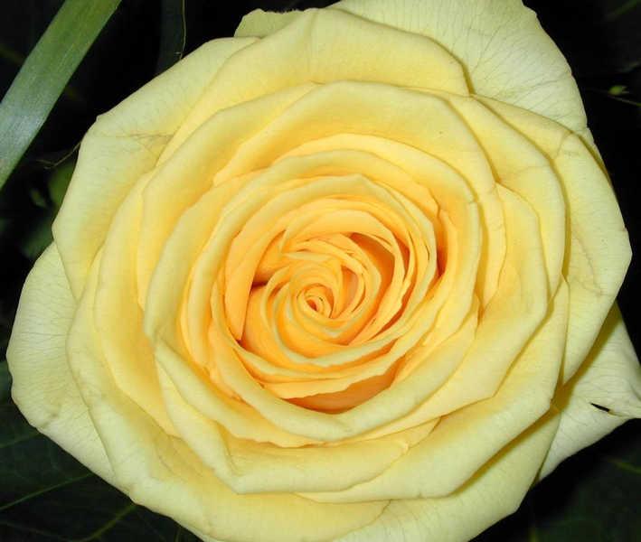 noch `ne Rose