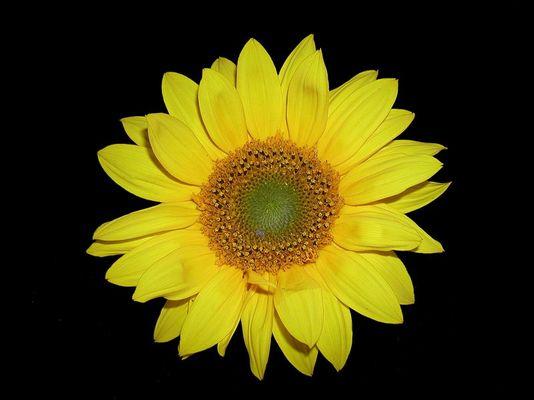 Noch ne Sonnenblume