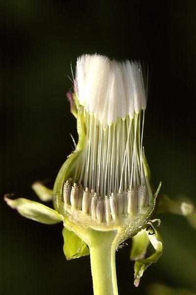 Noch nicht reife Samen des Wiesen-Löwenzahn