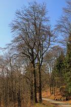 Noch ohne Laub. Aufgenommen in der Nähe der Ginsburg (bei Hilchenbach-Grund).