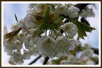 noch sind nur Blüten an unserem Kirschbaum....