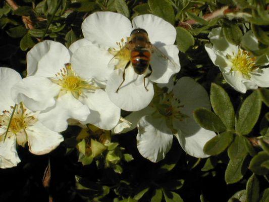 Noch so eine Biene