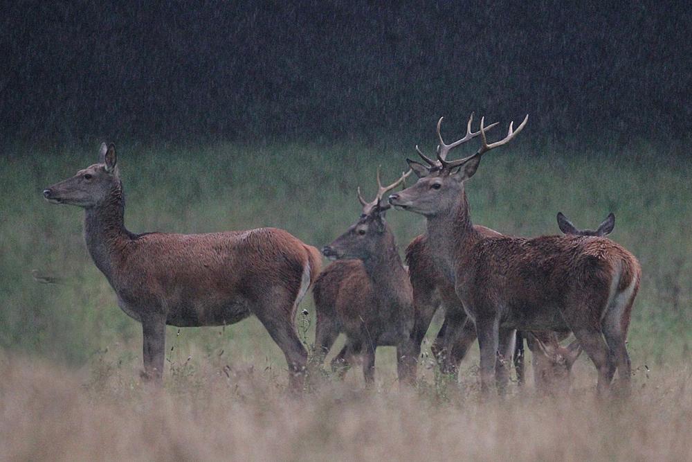 Noch stehen die jungen Hirsche beim Kahlwild