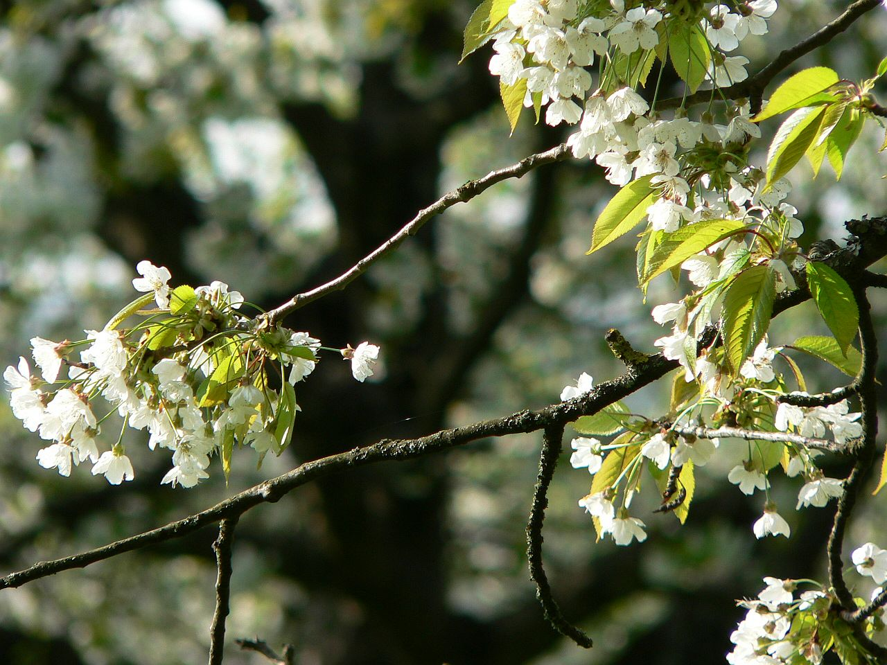 noch viel WEIß im Kirschbaum