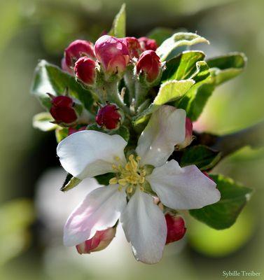Nochmal Apfelblüte