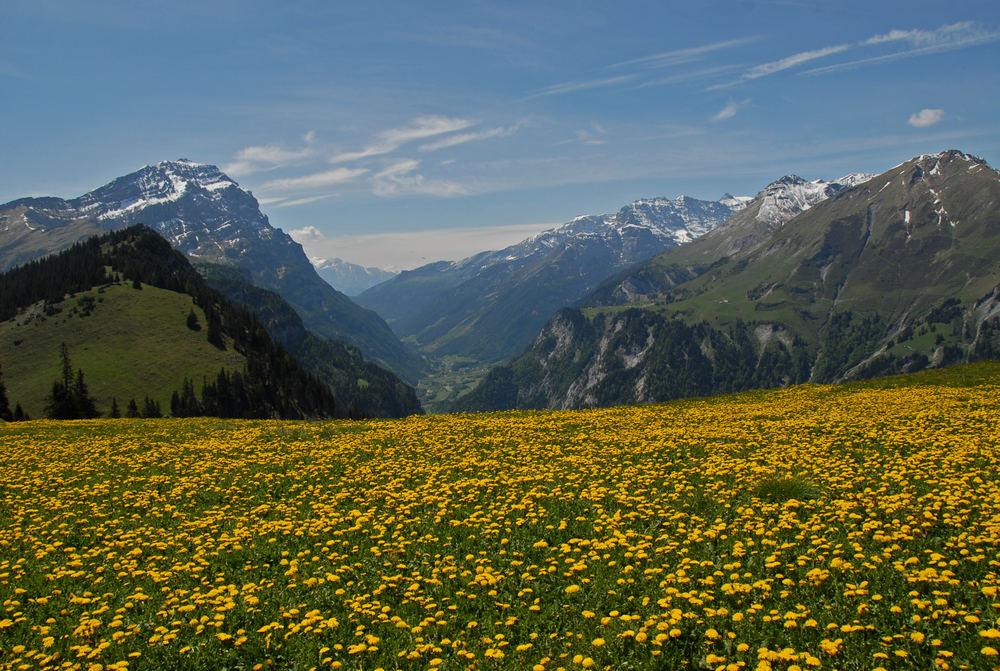 Nochmals Alp Maton - ein gelber Teppich