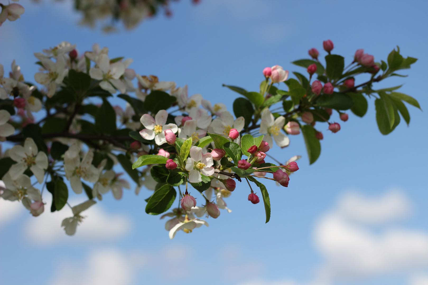 nochmals Apfelblüte