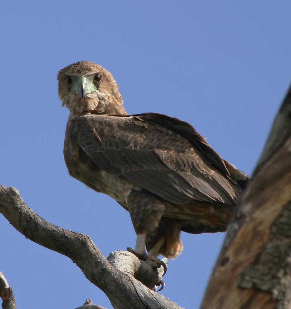 .....Noch´n Adler.....in 2 Bildern....