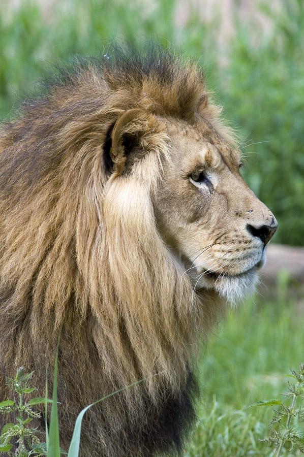 noch'n Löwe