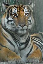 Nochn Tiger