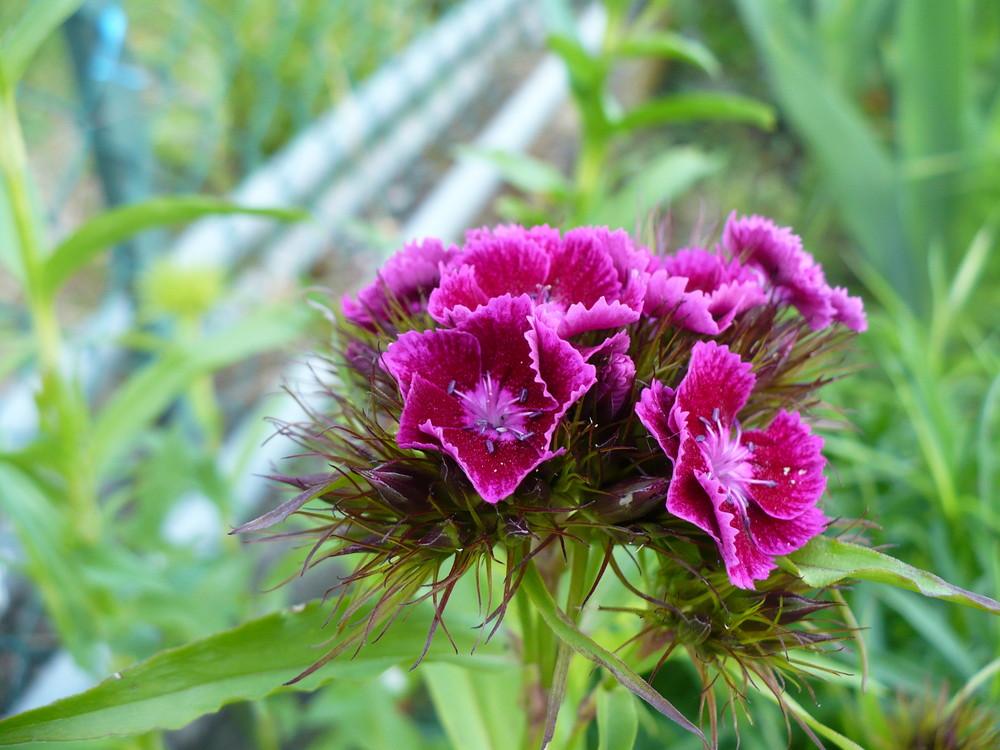 non conosco il nome di questo fiore