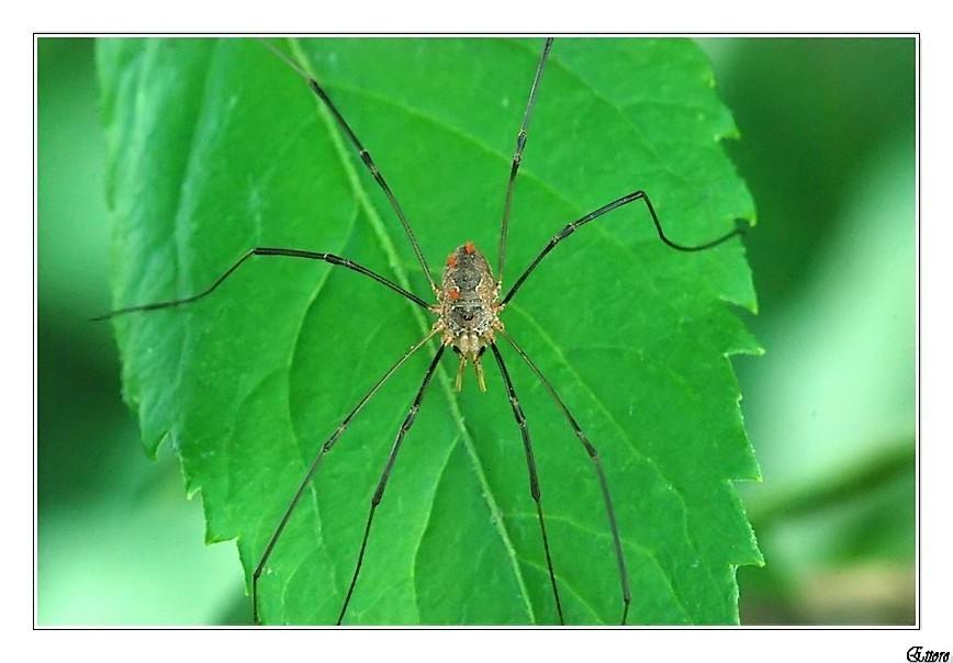 Non è un ragno,ma un'opilione.
