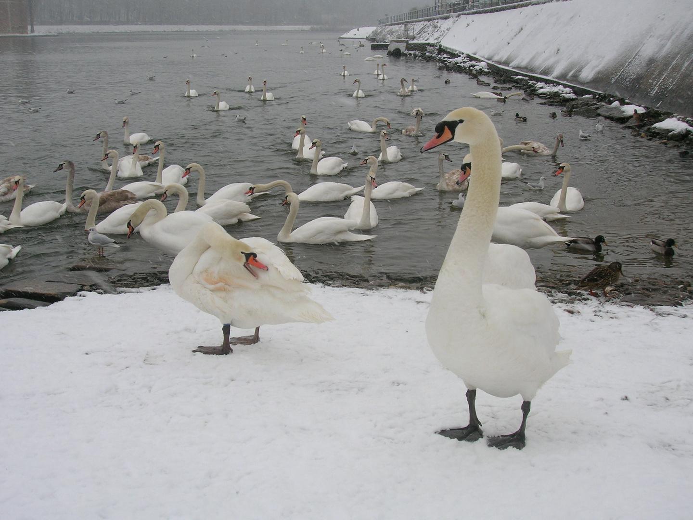 Non pas le lac des cygne mais la Seine des cygnes!!!!