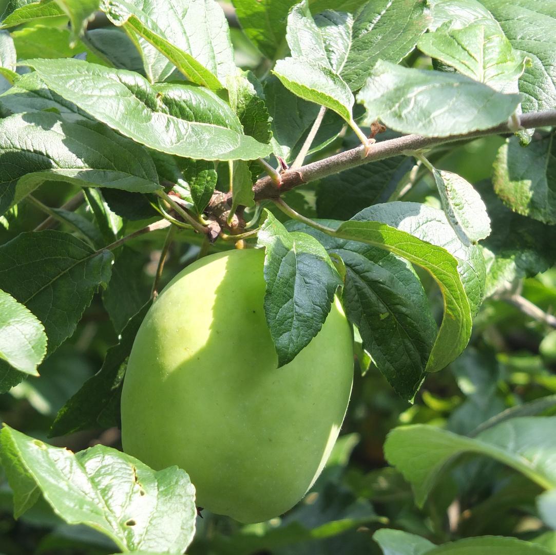 Norddeutscher Apfel -gr.Glockenapfel