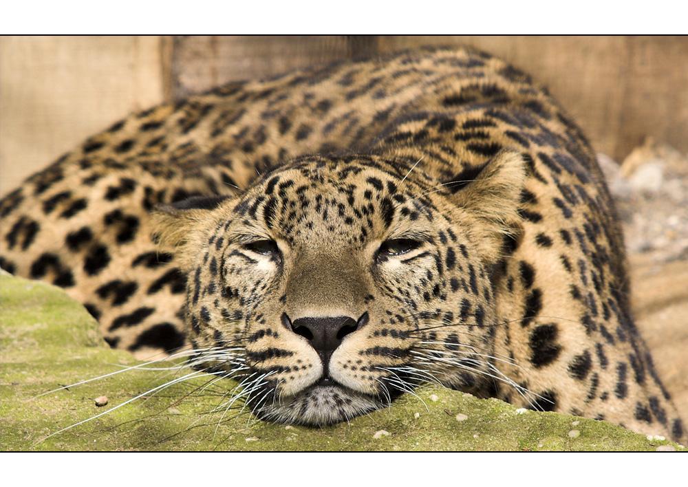 ... Nordpersischer  Leopard ...