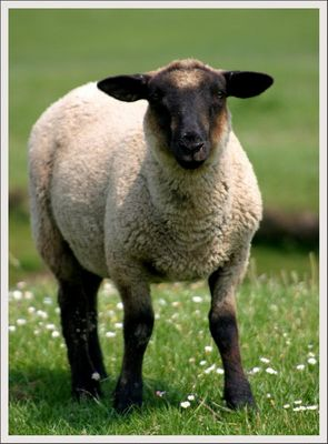 Nordsee- Schaf