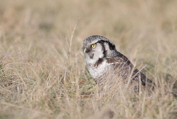 Northern Hawk Owl (Stollberg)