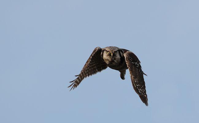 Northern Hawk Owl (Stollberg) im Flug