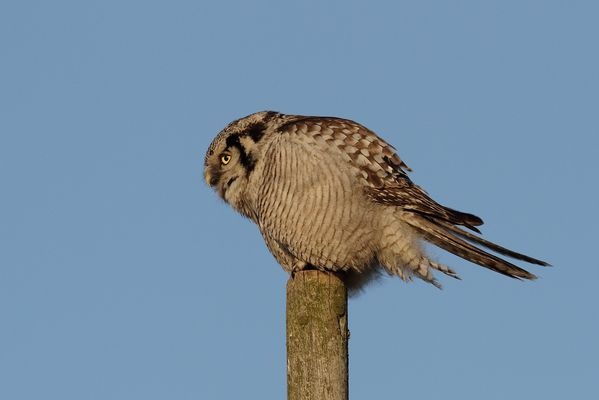 Northern Hawk Owl (Stollberg.Sa.)