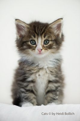Norweger Kitten / 5