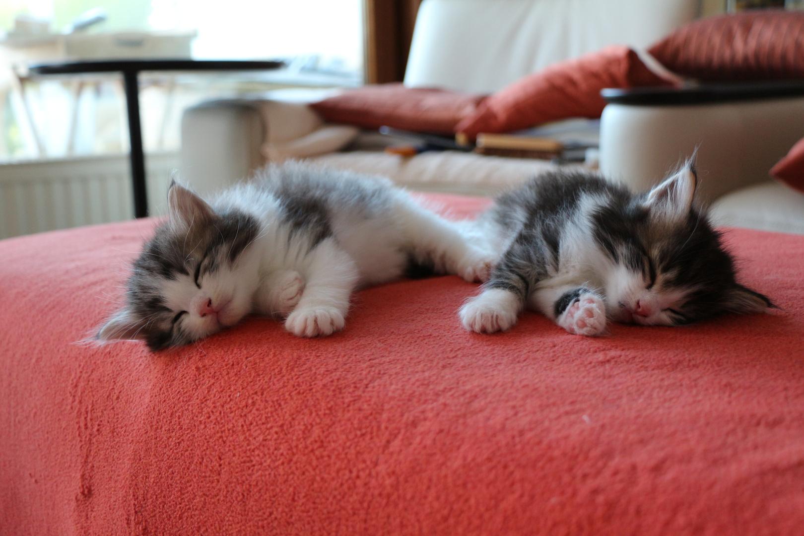 Norweger Waldkatzen Kitten, 5 Wochen alt