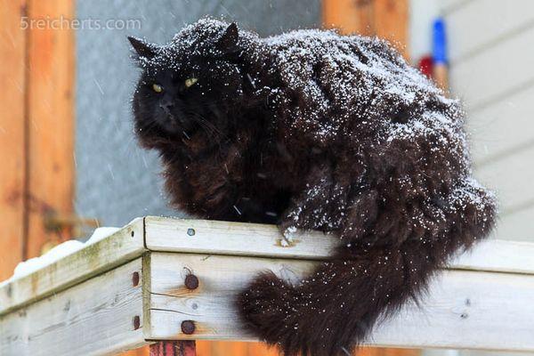 Norwegische Waldkatze Fotos Amp Bilder Auf Fotocommunity