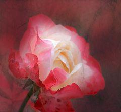 Nostalgie-Rose