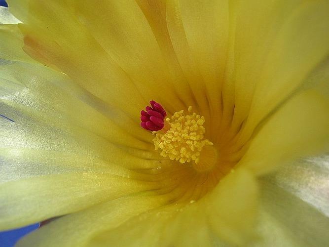 Noto-Blüte