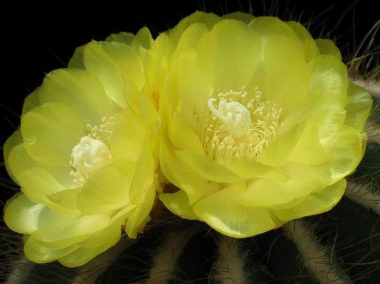 Notocactus magnificius