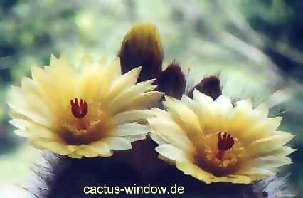 Notocactus scopa_01