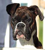 Notre chienne Boxer Zoée .