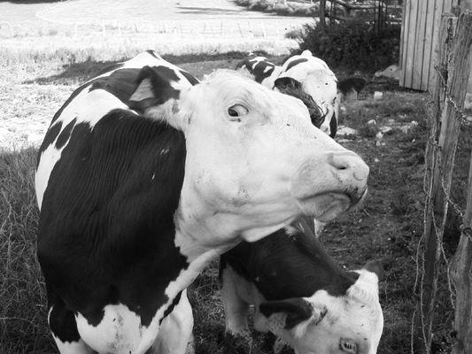 notre vache à lait