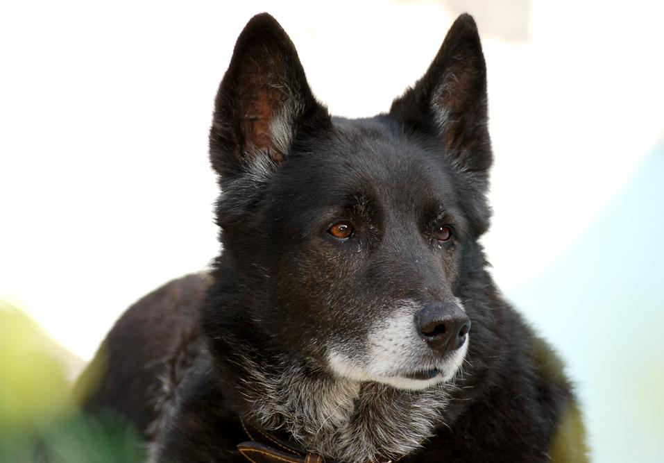 Nouba, chien de berger