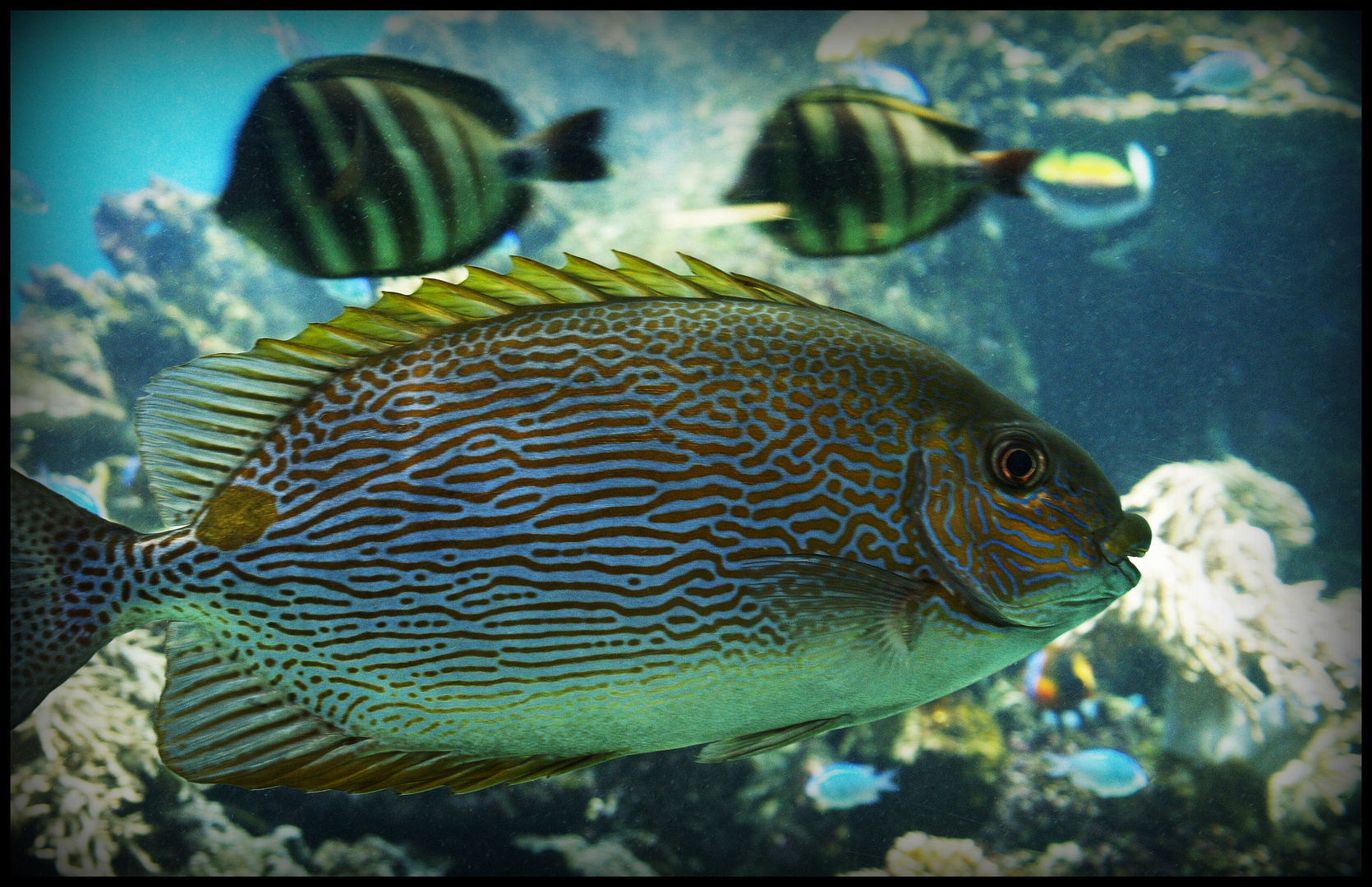 noum a aquarium des lagons 3 cordonnier ligne siganus lineatus photo et image animaux. Black Bedroom Furniture Sets. Home Design Ideas