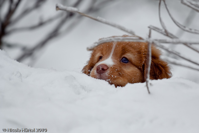 Nova Scotia Duck Tolling Retriever Welpe