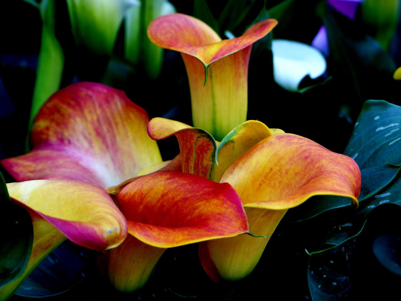 november blumen foto bild pflanzen pilze flechten zimmerpflanzen natur bilder auf. Black Bedroom Furniture Sets. Home Design Ideas