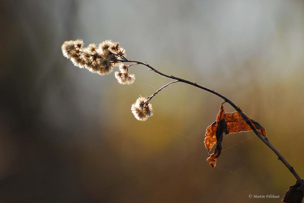Novemberschönheit