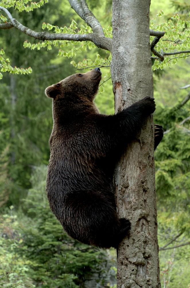 np bayerischer wald braunb r klettert auf baum foto bild tiere zoo wildpark falknerei. Black Bedroom Furniture Sets. Home Design Ideas