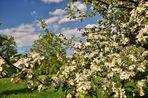 NSG in Glauchau..........,Streuobstwiese in der Apfel und Birnenblüte