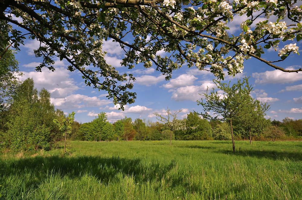 NSG in Glauchau.........,Streuobstwiese in der Apfel und Birnenblüte