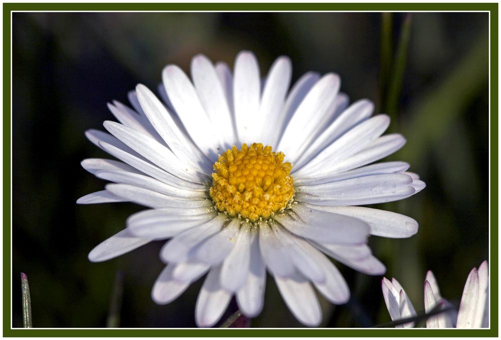 Nuch mol a Gänsblümla (once more a daisy)