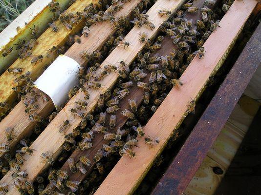 Núcleo de abejas