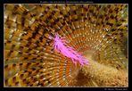 Nudibranco (flabellina affinis) su spirografo spallanzani