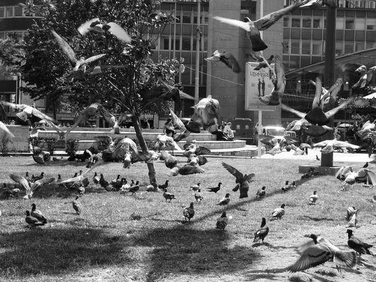nuée de pigeons