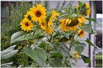 nuestros girasoles (unsere Sonnenblumen)