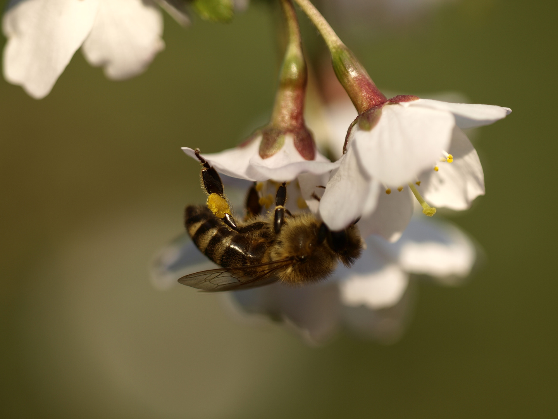 Nützling: Biene