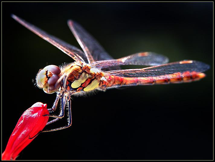 Nun aber meine letzte Libelle
