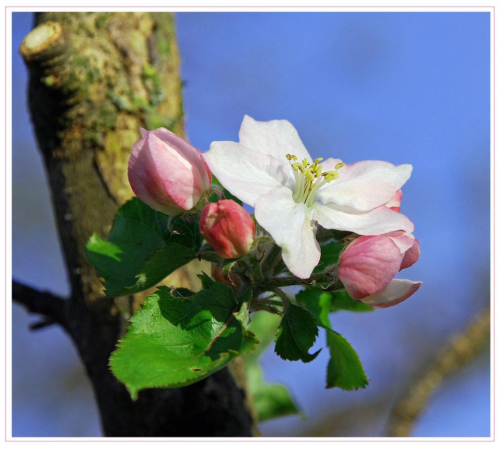 Nun blüht auch schon der Apfelbaum