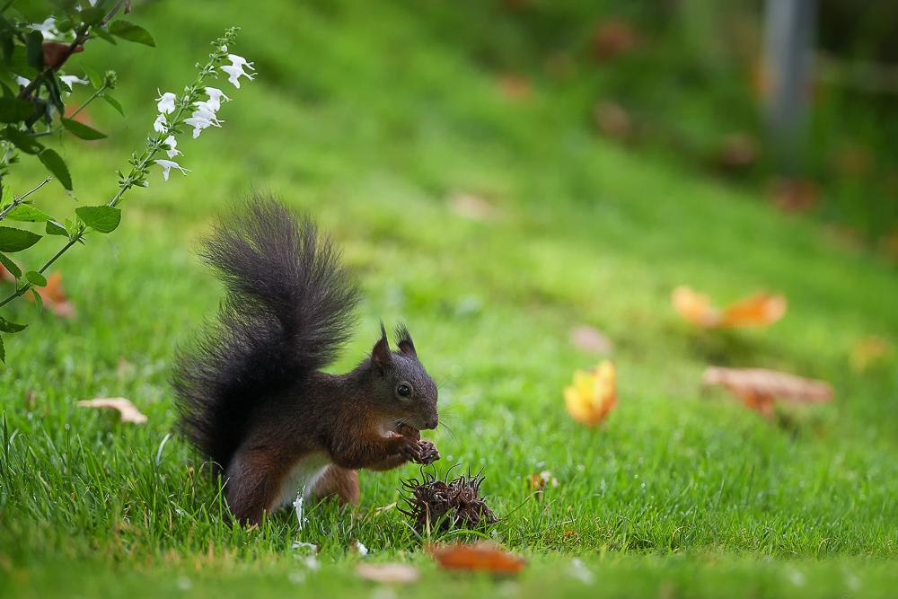Nun hab ich auch ein Eichhörnchen